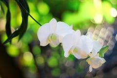 Orquídea blanca tailandesa Fotografía de archivo libre de regalías