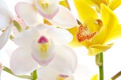 Orquídea blanca y amarilla Imágenes de archivo libres de regalías