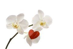 Orquídea blanca y corazón rojo. Foto de archivo