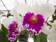 Orquídea blanca y magenta Fotografía de archivo libre de regalías