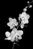Orquídea blanco y negro imagenes de archivo