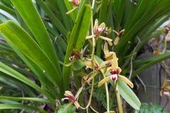 Orquídea bonita da flor selvagem, finlaysonianum do Cymbidium, especs. raras Fotografia de Stock Royalty Free