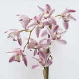 Flor bonita da orquídea ilustração royalty free