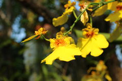 Orquídea bonita no rajapruek real do parque de Tailândia Foto de Stock