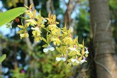 Orquídea bonita no rajapruek real do parque de Tailândia Imagens de Stock Royalty Free