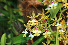 Orquídea bonita no rajapruek real do parque de Tailândia Fotografia de Stock Royalty Free