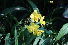 Orquídea bonita no rajapruek real do parque de Tailândia Imagem de Stock Royalty Free