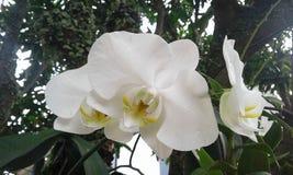 Orquídea branca fotografia de stock royalty free