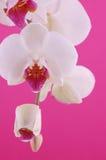 Orquídea branca Imagens de Stock