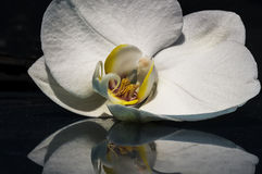 Orquídea branca 002 Foto de Stock