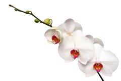 Orquídea branca Foto de Stock Royalty Free