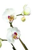 Orquídea branca. imagem de stock royalty free