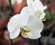 Orquídea branca imagem de stock royalty free