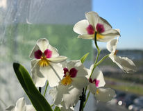 Orquídea branca imagens de stock royalty free