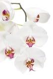 Orquídea branca. Imagens de Stock