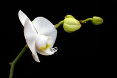 Orquídea branca bonita Foto de Stock