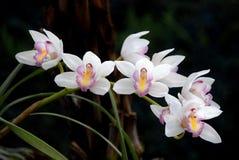 A orquídea branca do Cymbidium com o bordo e o verde do amarelo do rosa do ponto sae no jardim Foto de Stock Royalty Free