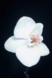 Orquídea branca do Phalaenopsis Foto de Stock