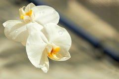 A orquídea branca do Phalaenopsis com watter deixa cair nas folhas da flor Imagem de Stock Royalty Free