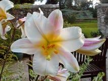 Orquídea branca e cor-de-rosa Imagem de Stock Royalty Free
