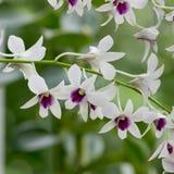 Orquídea branca e roxa Fotos de Stock