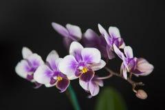 Orquídea branca e roxa Fotos de Stock Royalty Free