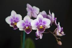 Orquídea branca e roxa Imagens de Stock