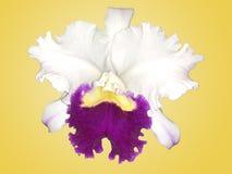 Orquídea branca e roxa de Islolated de Cattleya com fundo amarelo Fotografia de Stock