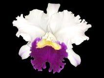 Orquídea branca e roxa de Islolated de Cattleya com fundo transparente Imagem de Stock Royalty Free