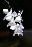 Orquídea branca em um fundo preto Foto de Stock Royalty Free