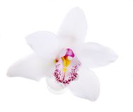 Orquídea branca isolada imagem de stock royalty free