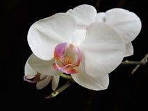 Orquídea branca no fundo preto Imagem de Stock Royalty Free