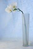 Orquídea branca no vaso Imagens de Stock