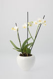 Orquídea branca no potenciômetro de flor branca Fotografia de Stock