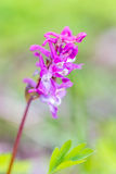 orquídea Cedo-roxa na grama da floresta no fundo, março imagens de stock royalty free