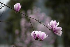 Orquídea china hermosa hermosa del jade imagenes de archivo