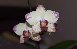 Orquídea clara do potenciômetro da sala com afiação cor-de-rosa imagem de stock royalty free