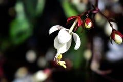 Orquídea coloreada blanco con cuatro pétalos Fotos de archivo