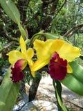 Orquídea colorida, Cattleya Imagen de archivo