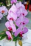 Orquídea colorida en Tailandia Imagen de archivo libre de regalías