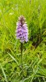 Orquídea común Fotografía de archivo libre de regalías