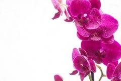 Orquídea com gotas da água no fundo branco Fotografia de Stock Royalty Free