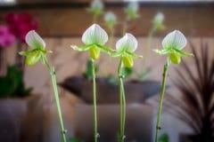 Orquídea comum vista na maioria de casas imagem de stock