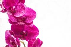 Orquídea con descensos del agua en el fondo blanco Foto de archivo libre de regalías