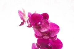 Orquídea con descensos del agua en el fondo blanco Fotos de archivo