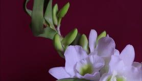 Orquídea con las flores blancas, fondo rojo almacen de metraje de vídeo