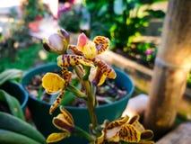 Orquídea con los pétalos duros amarillos con las manchas marrones en un jardín tropical fotos de archivo libres de regalías