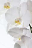 Orquídea contra el fondo blanco Fotos de archivo libres de regalías