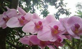Orquídea cor-de-rosa foto de stock