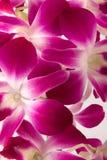 Orquídea cor-de-rosa Fotos de Stock